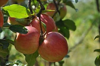 写真:リンゴ